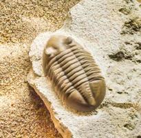 Trilobit. Asaphus auf Kalkstein foto
