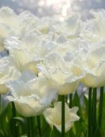 weiße Tulpen foto