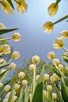 hellgelbe Tulpenblumen, die zum Himmel wachsen