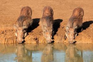 Warzenschweine trinken