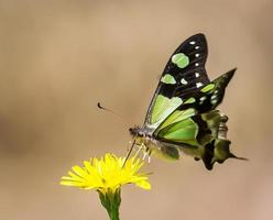 Schmetterling trinkt Pollen foto