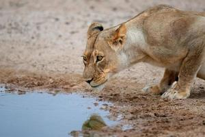 Löwin trinkt foto