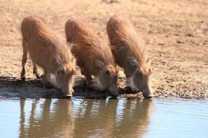 Warzenschweine Trinkwasser foto
