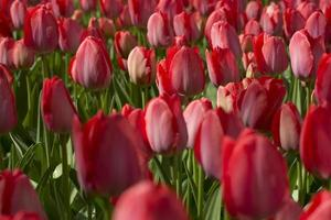 rote Tulpen foto