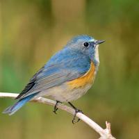 rotflankierter Bluetail-Vogel
