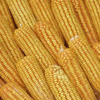Haufen gelber getrockneter Körner zur Tierfütterung foto