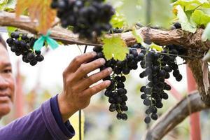 Mann im Weinberg, der Trauben pflückt