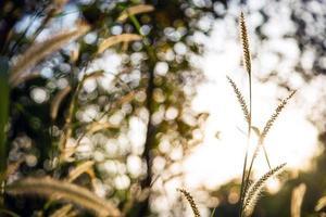 Pflanzen Sie goldene Wiese mit Hintergrundbeleuchtung Sonnenuntergang Herbst foto