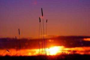 surreale Dämmerung buntes, dramatisches rosa hintergrundbeleuchtetes Gras des Sonnenuntergangs foto