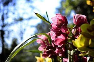 Cymbidium Orchidee von hinten beleuchtet