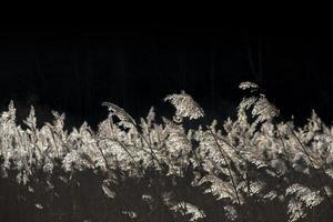 Hintergrundbeleuchtetes trockenes Schilf foto