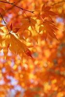 Ahornbaumblätter von Sonnenlicht zurück beleuchtet foto