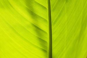 grünes Blatt von hinten beleuchtet