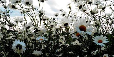 Gänseblümchen und mehr Gänseblümchen foto