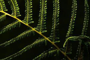 hintergrundbeleuchteter Farn mit Samen auf Blattunterseiten gegen schwarzen Hintergrund