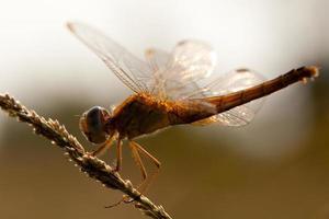 von hinten beleuchtete Libelle foto