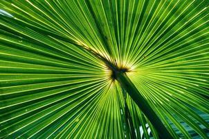 tropische Palme, hinterleuchtet, Queensland, Australien foto