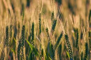 Getreide mit Hintergrundbeleuchtung foto