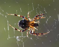 von hinten beleuchtete Spinne foto