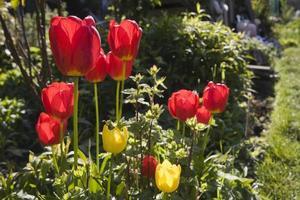 Tulpen mit Hintergrundbeleuchtung. foto