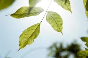 hintergrundbeleuchtete Blätter foto
