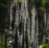 Nahaufnahme von dunklem spanischem Moos mit Hintergrundbeleuchtung foto