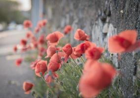 rote Mohnblumen auf dem Bürgersteig