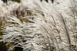 von hinten beleuchtetes, flauschiges Gras foto