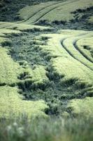 grünes Weizenfeld mit Regenschaden foto