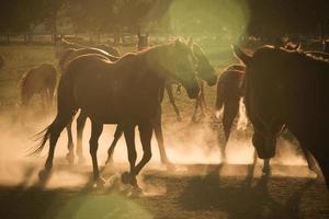 Pferde im Staub foto