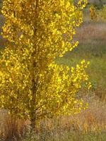 von hinten beleuchteter Pappelbaum foto