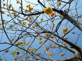 gelbe Seidenbaumwolle oder Fackelholz