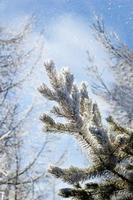 Nadelbaum mit Raureif bedeckt
