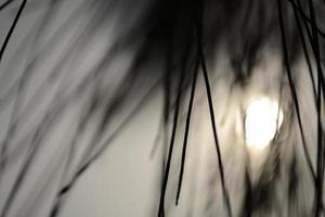 Silhouette von Kiefernblättern