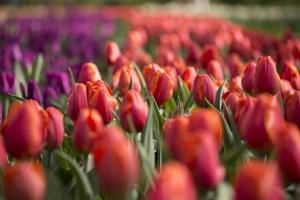 rote und lila Tulpen foto