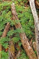 Eukalyptusholz foto