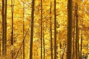 Von hinten beleuchtete goldene Espen in der Mitte des Holzes foto
