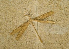 Fossil einer Libelle. foto