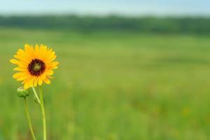 Sonnenblume mit Kopierraum