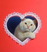 weißes Valentinstagskätzchen mit Kopienraum