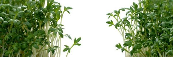Makroschuss Gartenkresse und Kopierraum foto