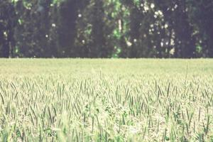Weizenfeld mit Kopierraum foto