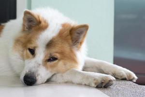 Nahaufnahme niedlichen Thai Bang Kaew Hundegesicht foto