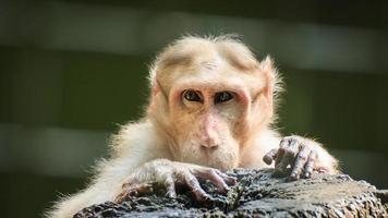 Affe, der menschlich betrachtet foto
