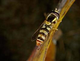Schwebfliegen-Nahaufnahme