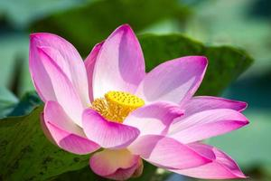 Nahaufnahme Lotus
