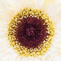 Nahaufnahme Gerbera Blume