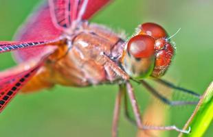 Libelle - Nahaufnahmefoto foto