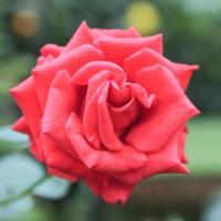 Blume Nahaufnahme 11