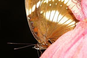 Nahaufnahme brauner Schmetterling foto